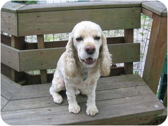 Cocker Spaniel Mix Dog for adoption in Mentor, Ohio - Jonas 4yr Adopted