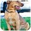 Photo 4 - Dachshund/American Pit Bull Terrier Mix Dog for adoption in Seattle, Washington - Boomer