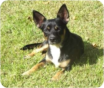 Chihuahua Mix Dog for adoption in Paintsville, Kentucky - PJ