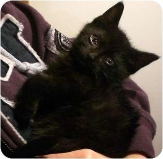 Domestic Shorthair Kitten for adoption in Byron Center, Michigan - Kody
