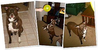 Rat Terrier Mix Dog for adoption in Carmel, New York - Marshall