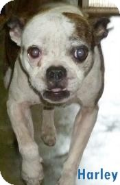 Boston Terrier Mix Dog for adoption in Georgetown, South Carolina - Harley