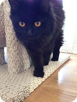 Domestic Longhair Cat for adoption in Vaudreuil-Dorion, Quebec - Ebony