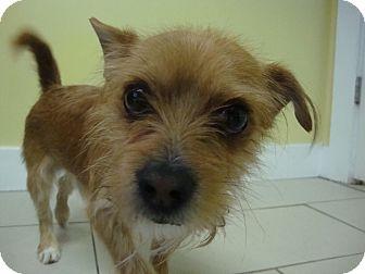 Terrier (Unknown Type, Small) Mix Dog for adoption in Philadelphia, Pennsylvania - Bently