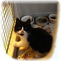 Adopt A Pet :: Gumball - Shelton, WA