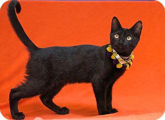 Domestic Shorthair Cat for adoption in Houston, Texas - Kirkpatrick