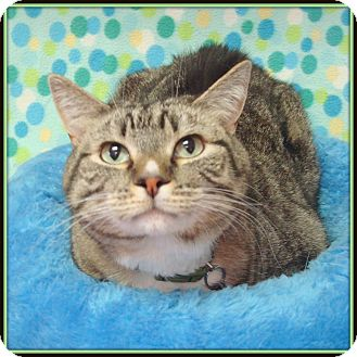 Domestic Shorthair Cat for adoption in Glendale, Arizona - Charlie