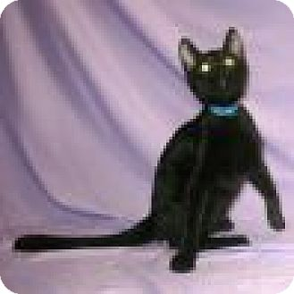 Domestic Shorthair Cat for adoption in Powell, Ohio - Shadow
