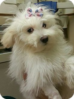 Maltese Mix Dog for adoption in Troy, Michigan - Kringle