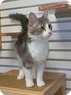 Domestic Mediumhair Cat for adoption in Dover, Ohio - Silvia