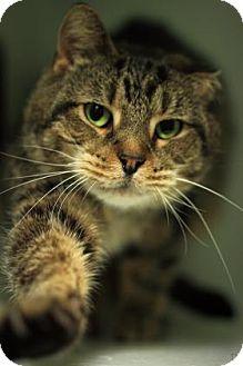 Domestic Shorthair Cat for adoption in Parma, Ohio - Oscar