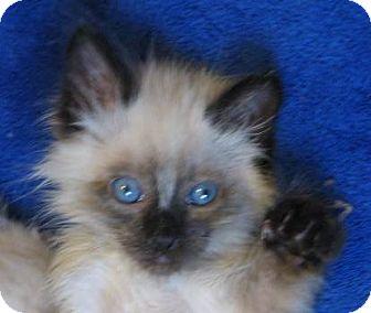 Ragdoll Kitten for adoption in Davis, California - Sparkie Bear