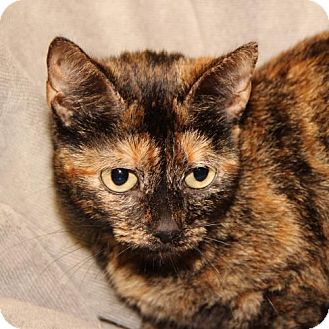 Domestic Mediumhair Cat for adoption in Helotes, Texas - Tabitha