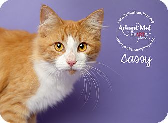 Domestic Longhair Cat for adoption in Friendswood, Texas - Sassy