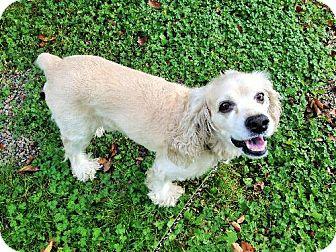 Cocker Spaniel Dog for adoption in Buffalo, New York - Joe