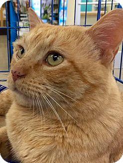 Domestic Shorthair Cat for adoption in Tucson, Arizona - Ben Franklin -headbonk greeter