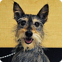 Adopt A Pet :: Belle - Weatherford, TX