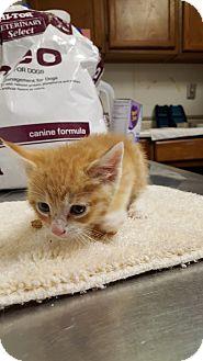 Domestic Shorthair Kitten for adoption in Mine Hill, New Jersey - Belle
