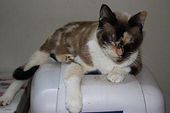 Calico Cat for adoption in Torrance, California - Majesta