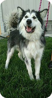 Alaskan Malamute Mix Dog for adoption in Meridian, Idaho - Colby