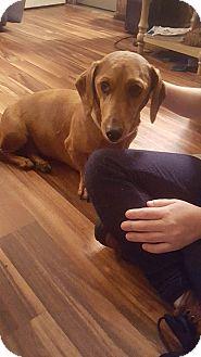 Dachshund Dog for adoption in Lubbock, Texas - LEXI