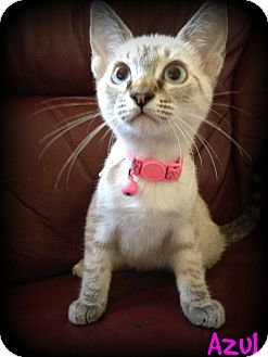Siamese Kitten for adoption in San Diego, California - Azul