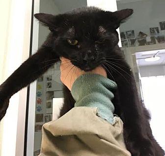 Domestic Shorthair Kitten for adoption in Westminster, California - Joker