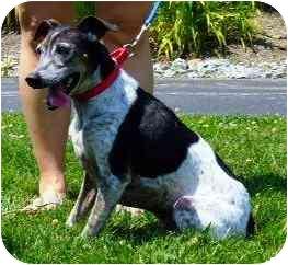 Italian Greyhound Mix Dog for adoption in Batavia, Ohio - Racer