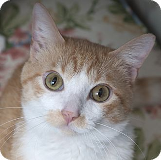 Domestic Shorthair Cat for adoption in Chicago, Illinois - Leo