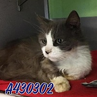 Domestic Mediumhair Cat for adoption in San Antonio, Texas - A430302