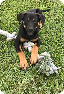 Rottweiler/Hound (Unknown Type) Mix Puppy for adoption in Beaumont, Texas - SHELBY
