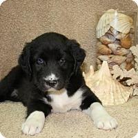 Adopt A Pet :: Angel Soft - Salem, NH