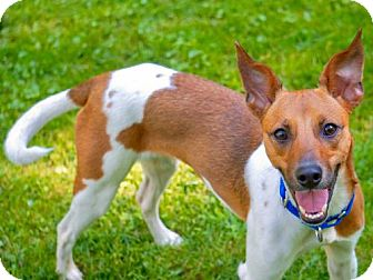 Rat Terrier Mix Dog for adoption in Greenfield, Wisconsin - Riley (WI)