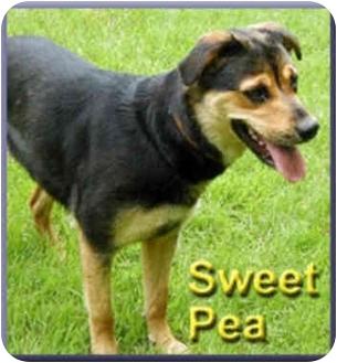 Rottweiler Mix Dog for adoption in Aldie, Virginia - Sweet Pea