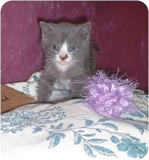Domestic Shorthair Kitten for adoption in Honesdale, Pennsylvania - Eva