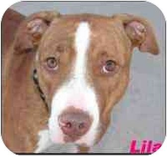 American Pit Bull Terrier Dog for adoption in Hawk Springs, Wyoming - lila
