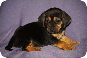 Dachshund/Spaniel (Unknown Type) Mix Puppy for adoption in West Milford, New Jersey - BELLA