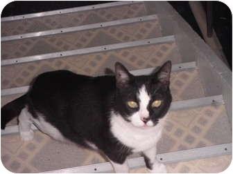 Domestic Shorthair Cat for adoption in Warren, Michigan - Joker
