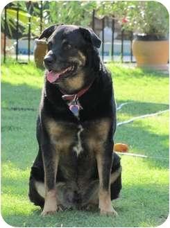 Rottweiler/Labrador Retriever Mix Dog for adoption in Phoenix, Arizona - HERSHEY