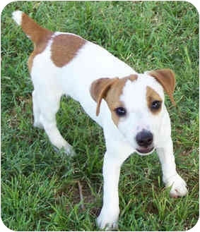 Jack Russell Terrier Puppy for adoption in Phoenix, Arizona - ALLY