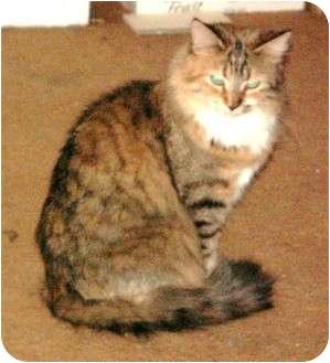 Domestic Longhair Cat for adoption in Scottsdale, Arizona - Chiffon