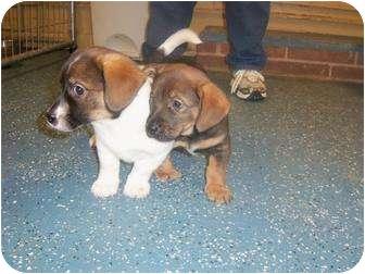 Basset Hound Mix Puppy for adoption in Williston, Vermont - Charlie