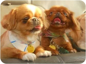 Pekingese Dog for adoption in Conway, New Hampshire - Peeka