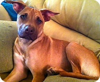 Labrador Retriever/Rhodesian Ridgeback Mix Dog for adoption in Phoenix, Arizona - Charlie