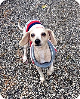 Poodle (Miniature)/Yorkie, Yorkshire Terrier Mix Dog for adoption in Muskegon, Michigan - Pumpkin