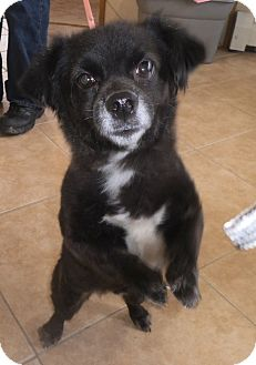Dachshund/Pomeranian Mix Dog for adoption in Middletown, New York - Sweetie
