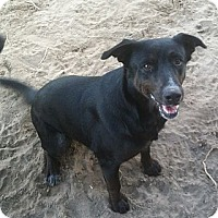 Labrador Retriever Mix Dog for adoption in Columbus, Nebraska - JoJo