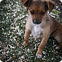 Adopt A Pet :: Arya - Broomfield, CO