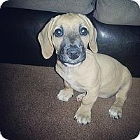 Adopt A Pet :: Tink - Roseville, MI