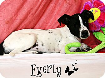 Rat Terrier/Italian Greyhound Mix Puppy for adoption in Groton, Massachusetts - Everly